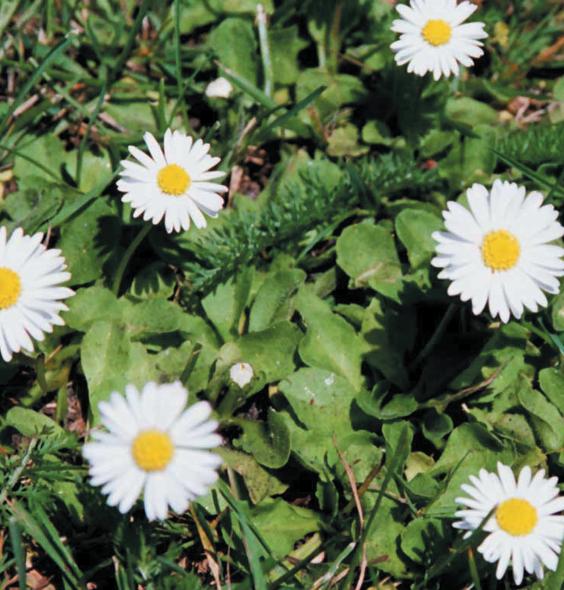 daisy;