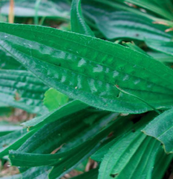 ribwort plantain;