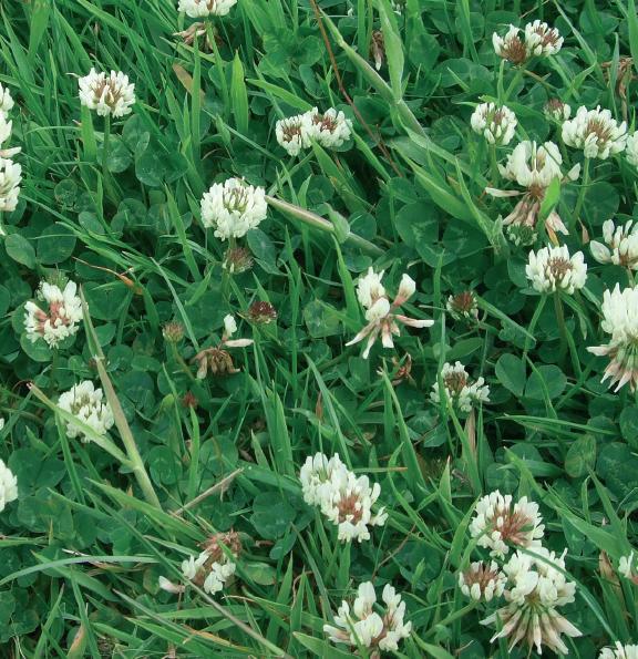 white clover;